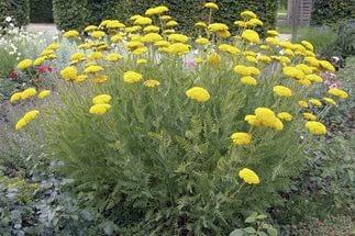 Корзинки из золотистых цветков