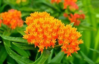 Оранжевые цветки