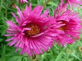 Вишневые соцветия