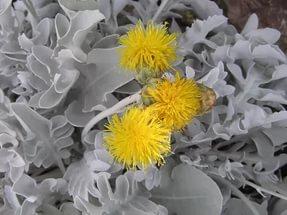 Беловойлочные листья