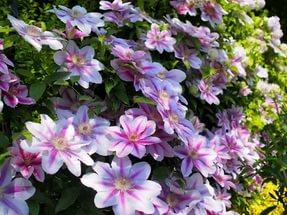 Цветки состоят из 6-7 бледно-лиловых листочков околоцветника