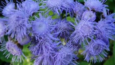 Соцветия из пурпурно-синих цветков