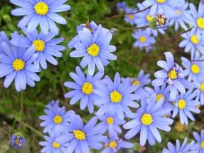Голубые соцветия