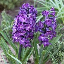 Цветки пурпурно-фиолетовые