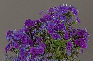 Имеет цветки нежной лиловато-голубой расцветки
