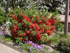 Цветки большей частью красные