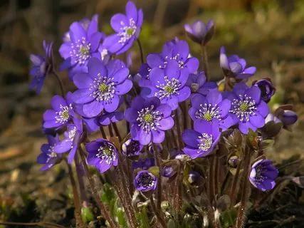Цветки фарфорово-голубые