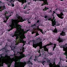 Цветки светло-лиловые