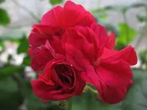 Карликовый сорт, цветки розовые