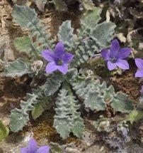 Узкие сиренево-голубые цветки