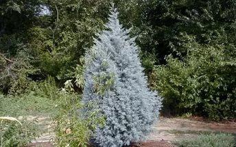Листва серебристо-голубая