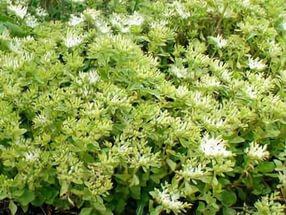 Подушковидное растение