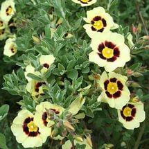 Темные кремовые или светло-желтые цветки