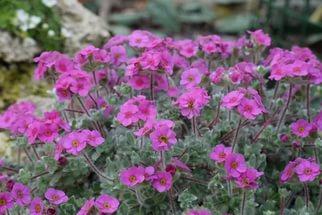 Густые зонтики темно-пурпурных цветков