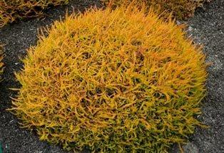 Листва весной имеет ярко-желтую окраску