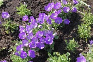 Цветки крупные, ярко-синие