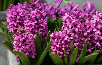 Цветки фиолетовые