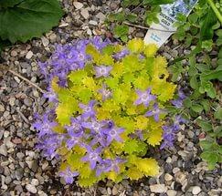 Цветки светло-лиловые, а листья желтого оттенка