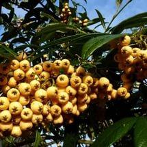 Плоды абрикосового оттенка