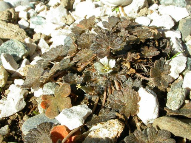 Растение очень мелкое, имеющее форму ковра