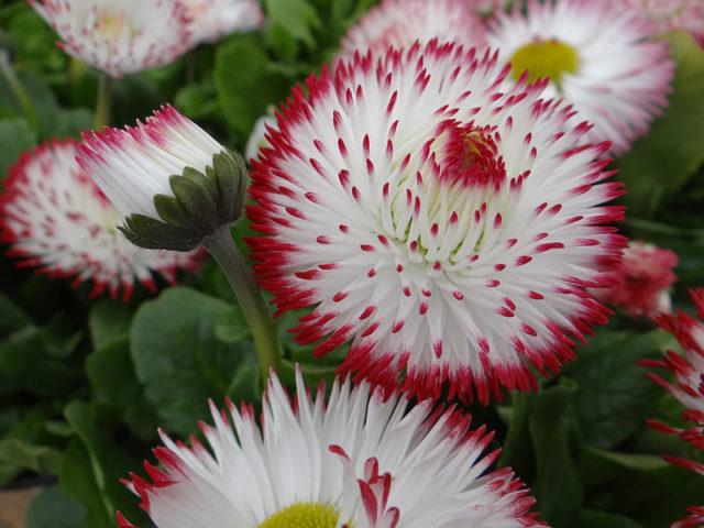 Язычковые цветки белые, оттененные красным