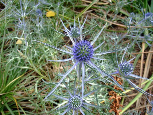 Мелкие синие соцветия