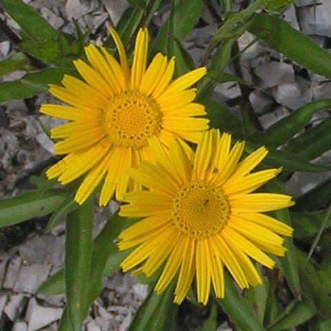 Ярко-желтые соцветия