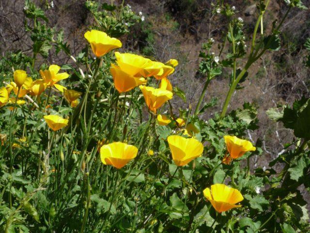 Карликовое растение с яркими желтыми цветками