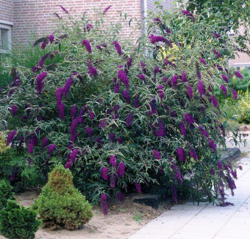 Цветки темно-фиолетовые