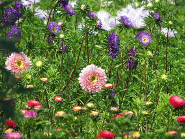 Сорт высотой до 30 см образует изогнутые язычковые цветки