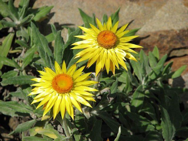 Золотисто-желтые немахровые соцветия