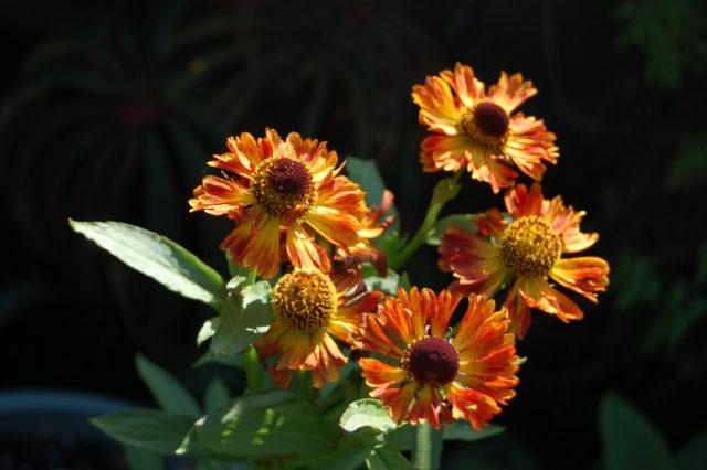 Двухцветные соцветия