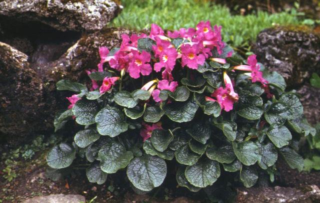Прямые кисти, состоящие из пяти фиолетовых цветков