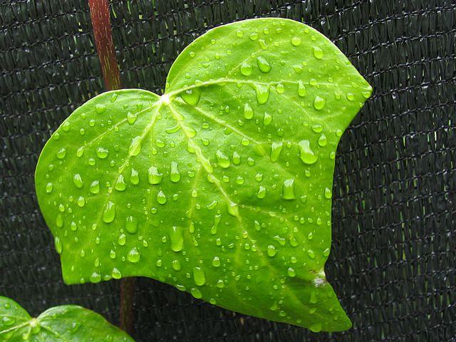 Светло-зеленые листья