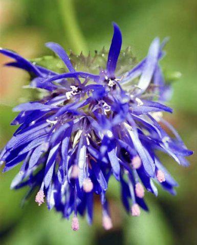 У сорта ярко-голубые цветки