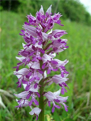 Болотная орхидея