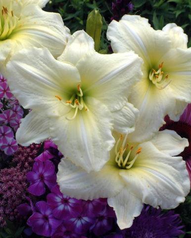 Цветки узкие, конусообразные