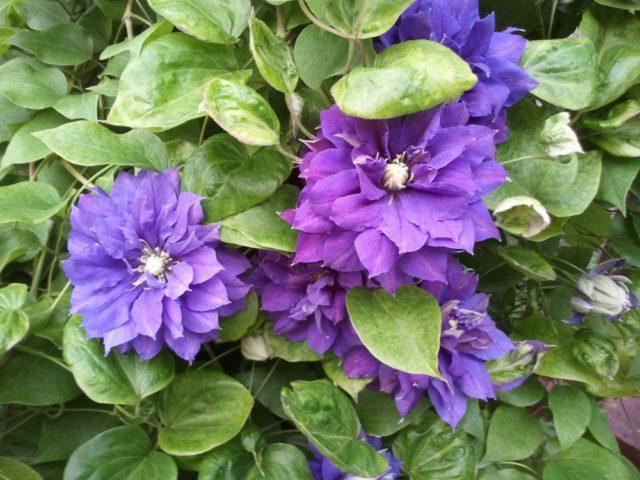 Крупные махровые цветки