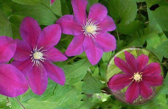 Формирует красно-пурпурные цветки с красноватыми тычинками