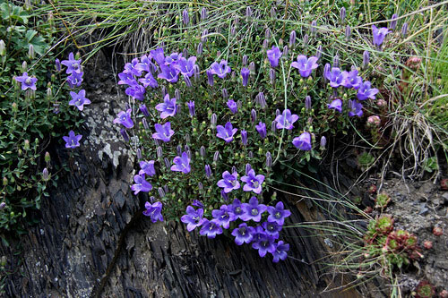 Цветки крупные, 5-6 см длиной