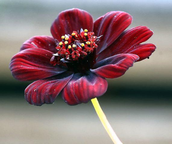 Язычковые цветки бархатистые