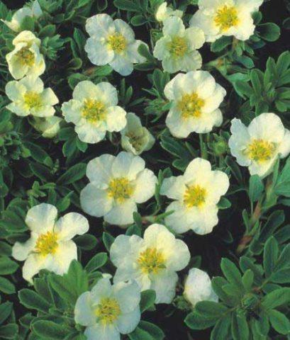 Цветки белые, бокаловидные