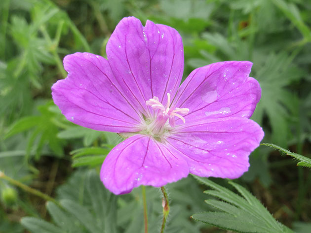 Изящное растение, цветущее с середины до конца лета