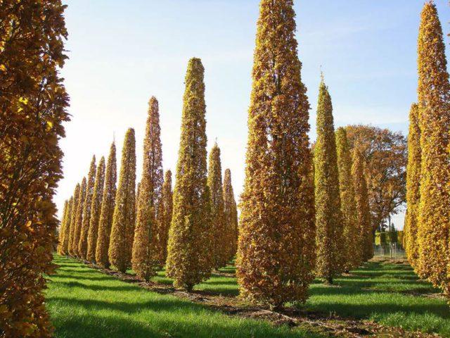 Колонновидные деревья