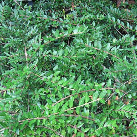 Компактный сорт с ярко-зелеными листьями