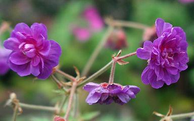 Цветки махровые, симметрично расположенные