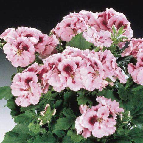 Цветки мелкие, пастельно-розового цвета