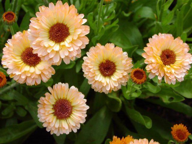 У сорта цветки полумахровые
