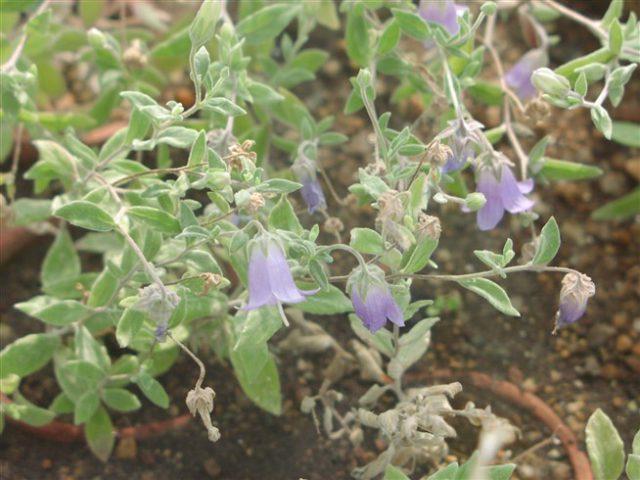 Это многолетнее травянистое растение формирует дерновины