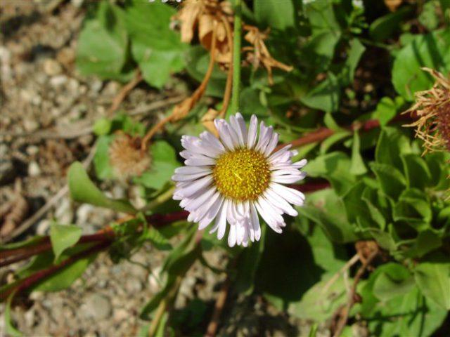 Бледно-фиолетовые соцветия